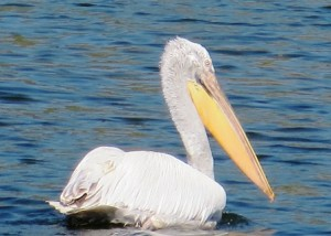 Pelican on Lake Prespa