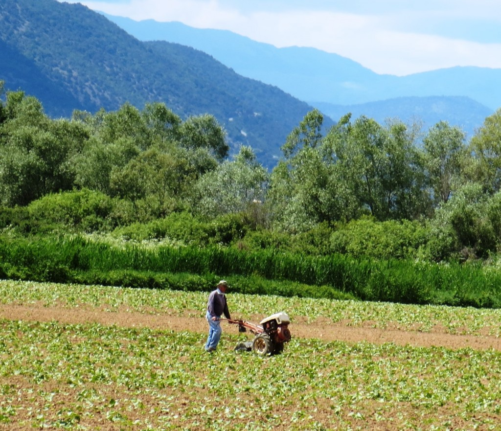 Growing beans on the shores of Lake Prespa