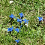 Gentians near Grammos Dragon Lake
