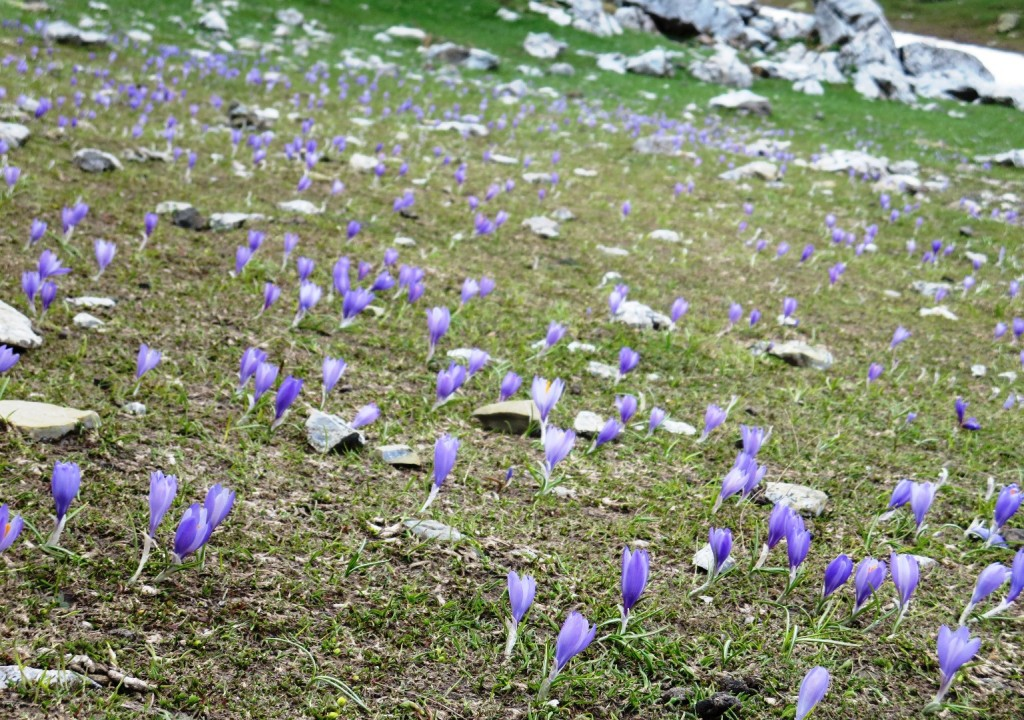 Wild crocuses by Dragon Lake