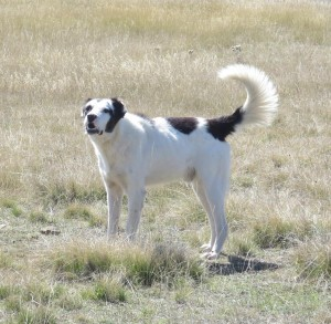 Sheepdog, Saradena ridge
