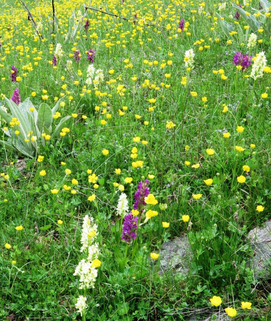 Orchids and buttercups